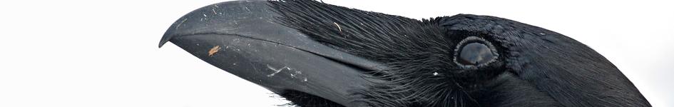 Image de corbeau de profil.